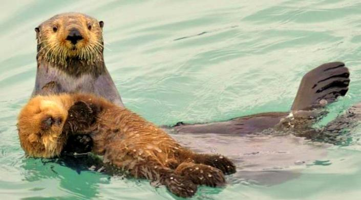 Image: a otter mother cradling her baby otter