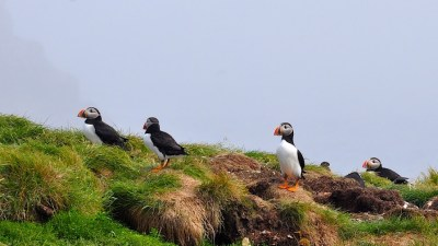 Puffins on a cliff