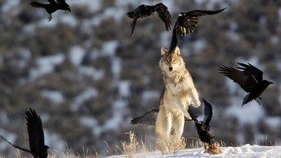image: Wolves and ravens