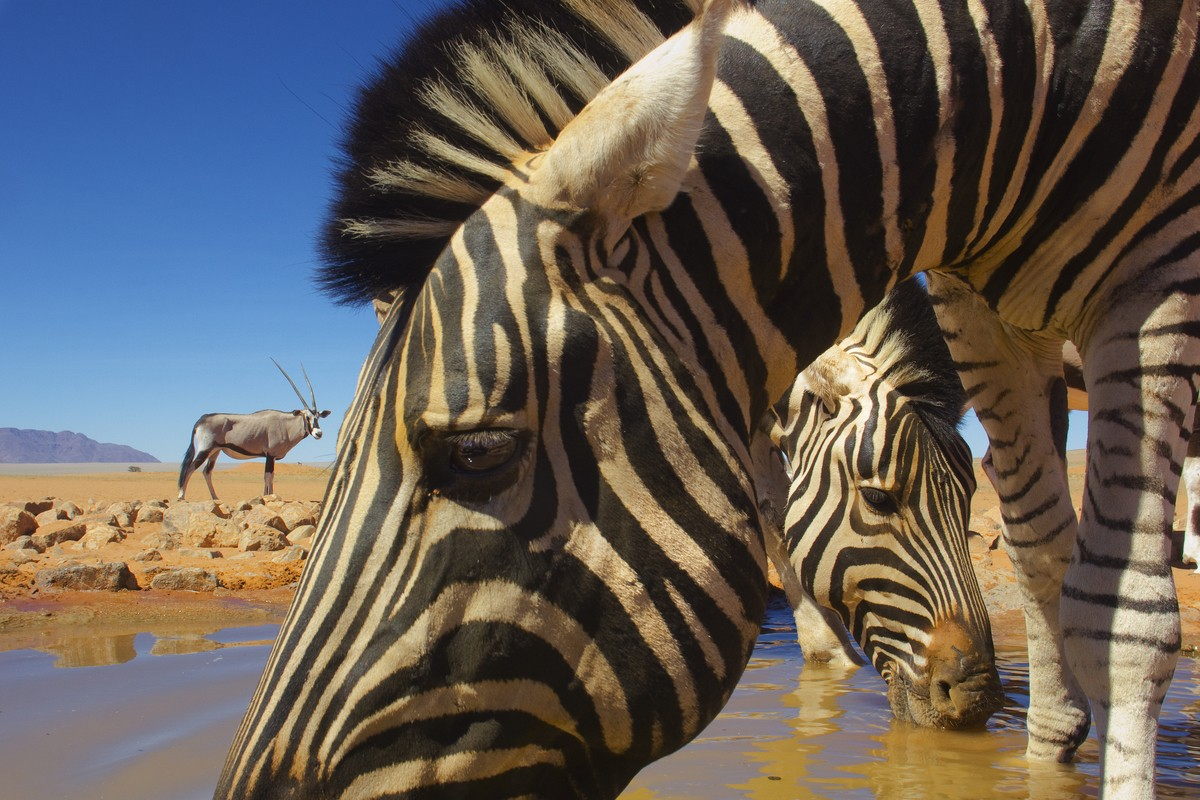 Image: Theo Allof's zebras
