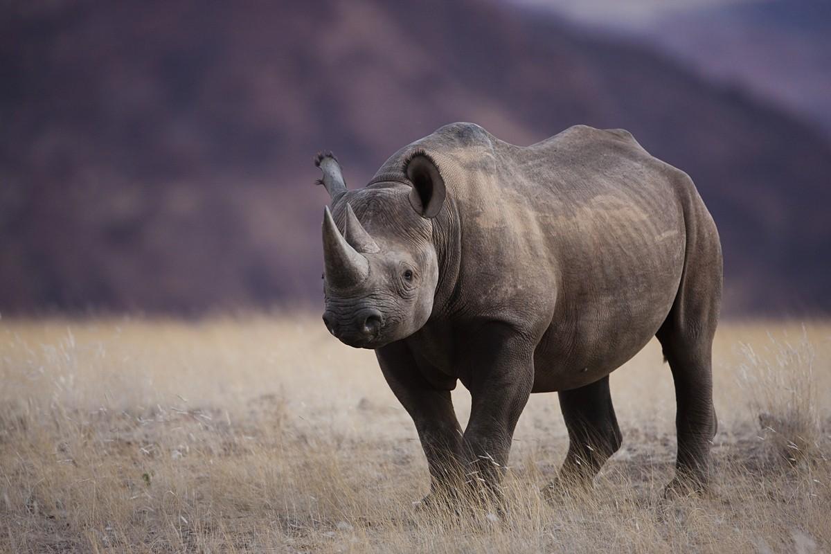 Image: Black Rhino Namibia