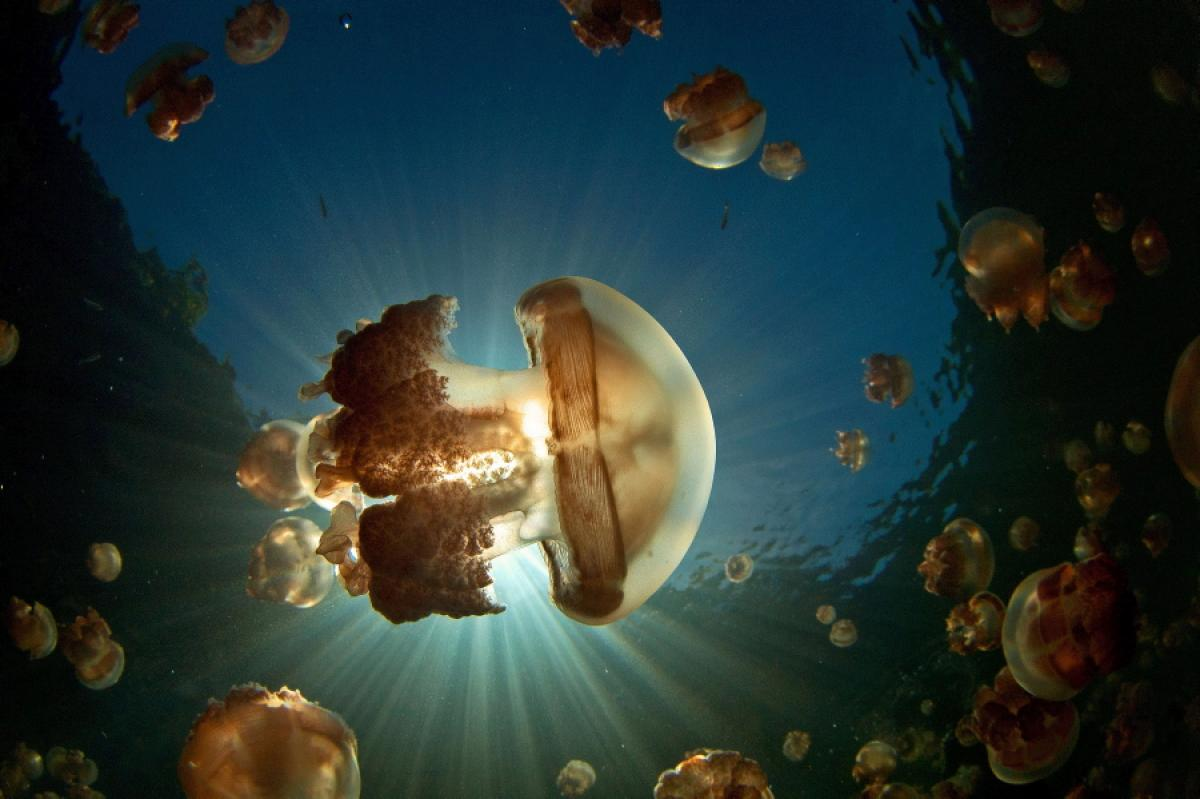 Golden Jelly Jellyfish Lake, Incredible Underwater Places