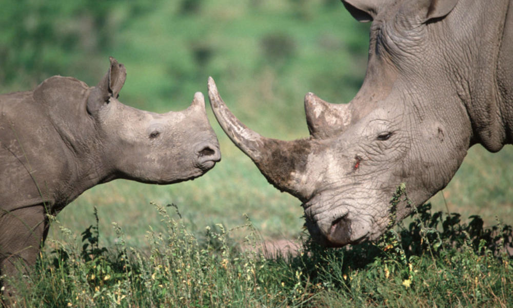 Image: Mother and baby rhino