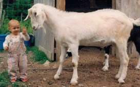 Image: Tiny girl with a big goat