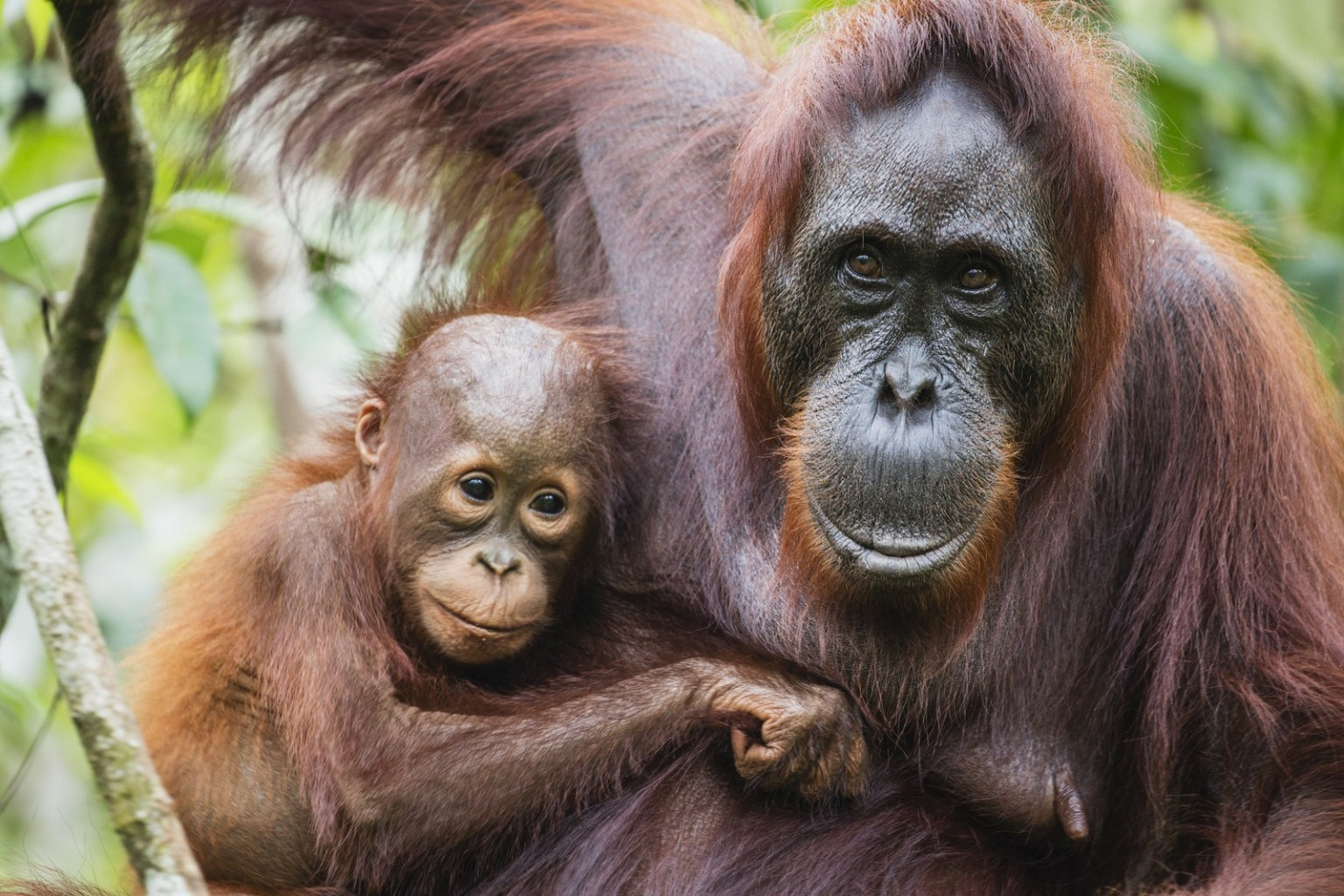 Image: A close-up portrait of orangutans, female (Pongo pymaeus) and her young together, Tanjung Puting National Park, Central Kalimantan, Borneo, Indonesia