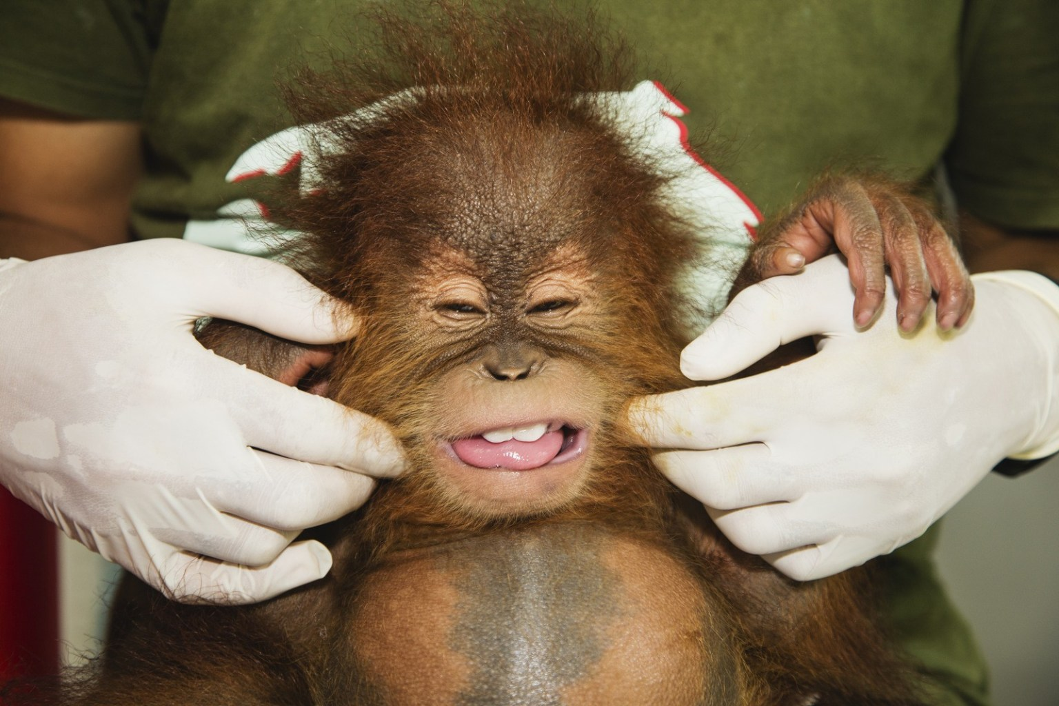 Image: A keeper helps the baby orangutan make a funny face