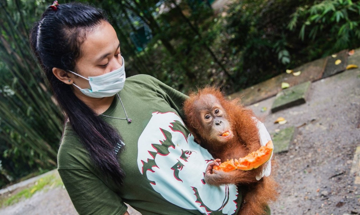 Image: Orphanage helper with baby orangutan eat a papaya