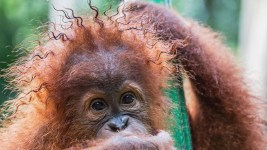 ss orangutans Rasta