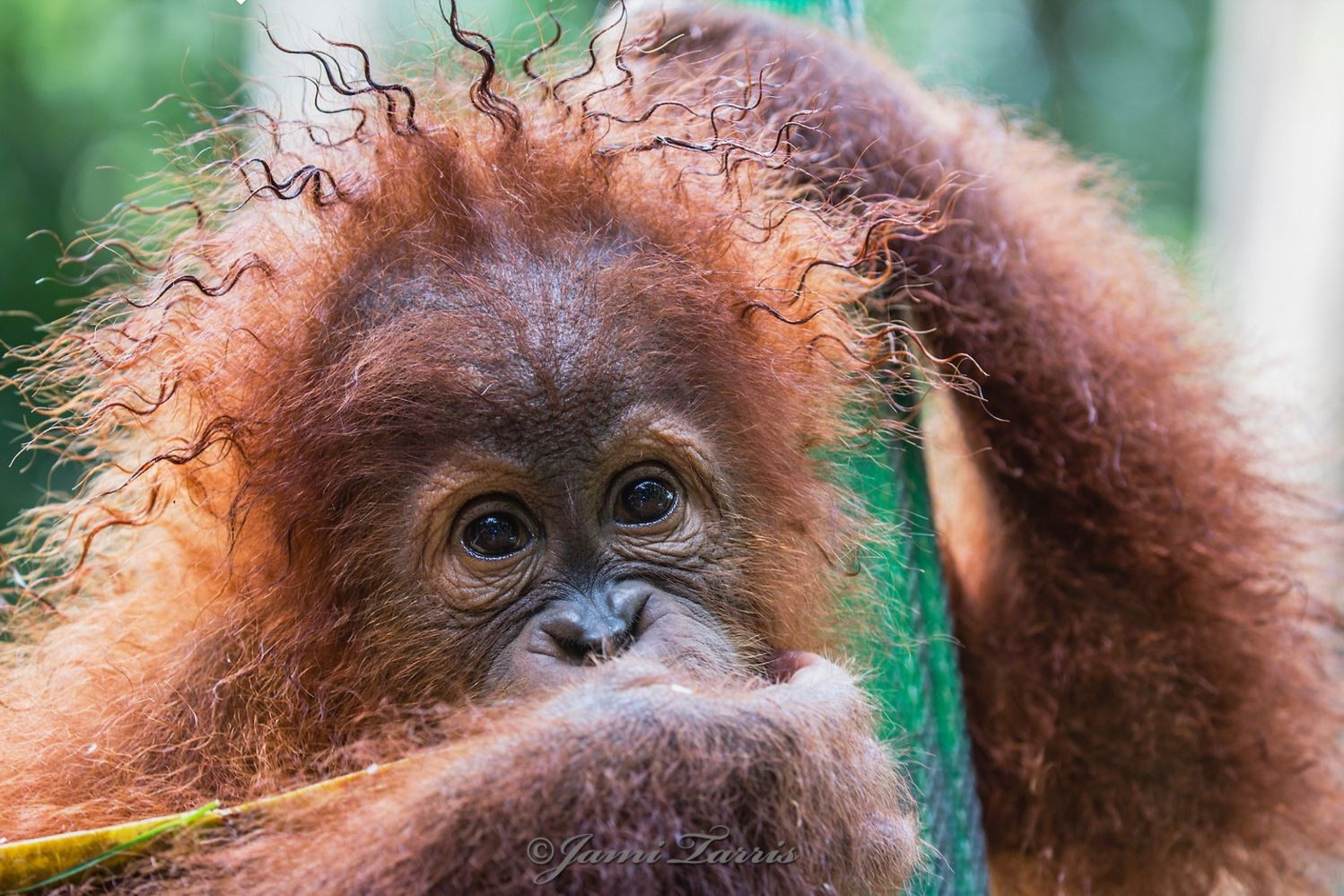 Image: Baby Orangutan with Rasta Hair