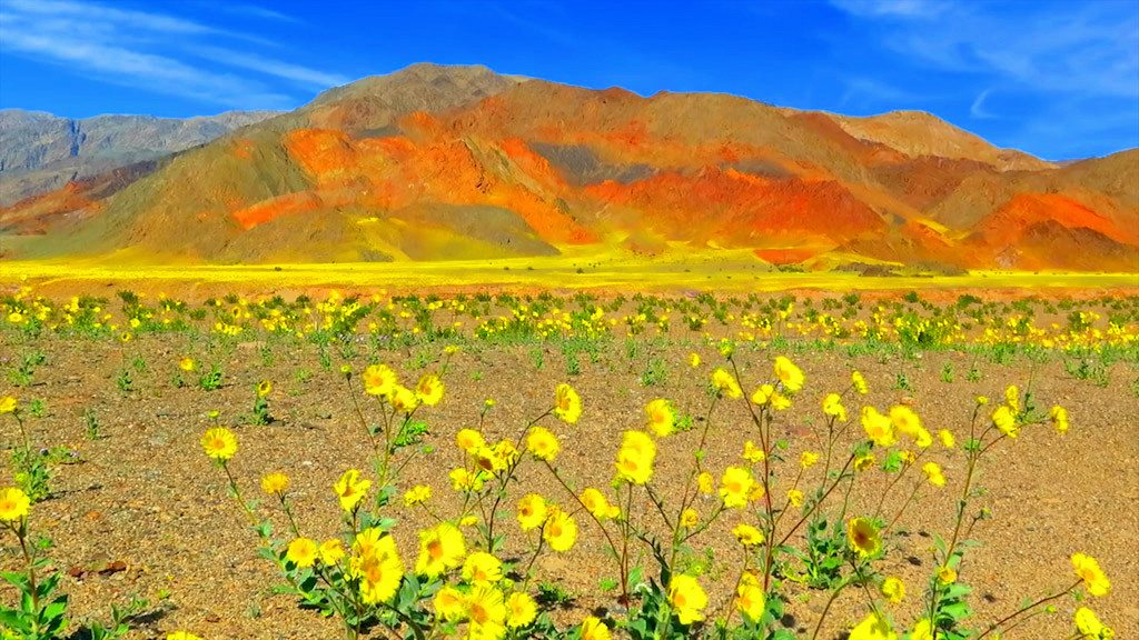 Image: Death Valley Super Bloom with yellow flowers in foreground and colorful hills in background