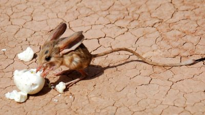Image: Jerboa, a tiny desert rodent with a long tail and long back legs like a T. Rex