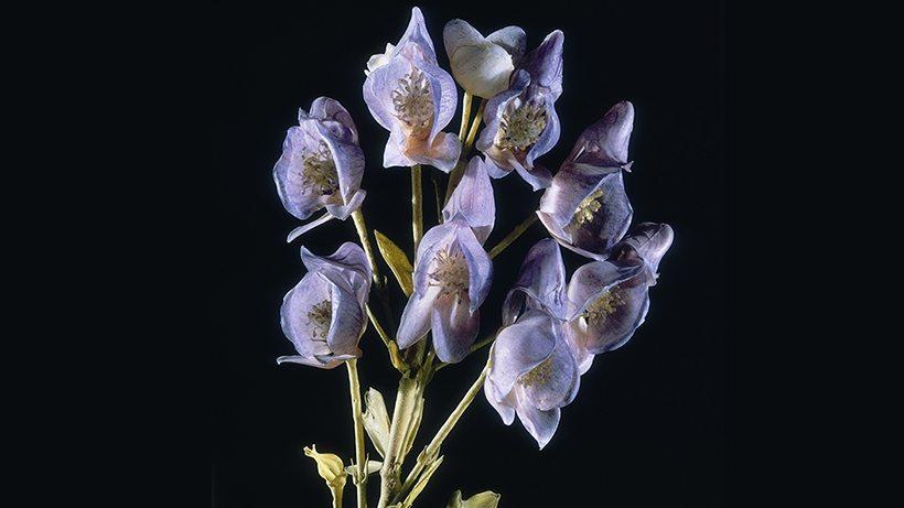 Image: Harvard's Glass Flowers Wolfsbane