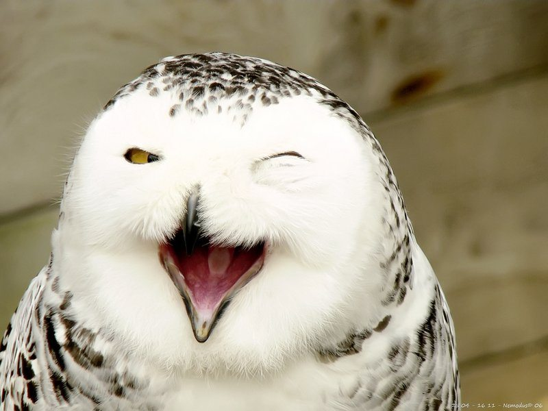 Image: a snowy owl looking like its laughing. the secret life of the snowy owl