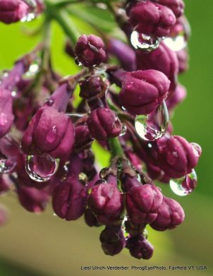 Image: unopened lilac buds dripping with water