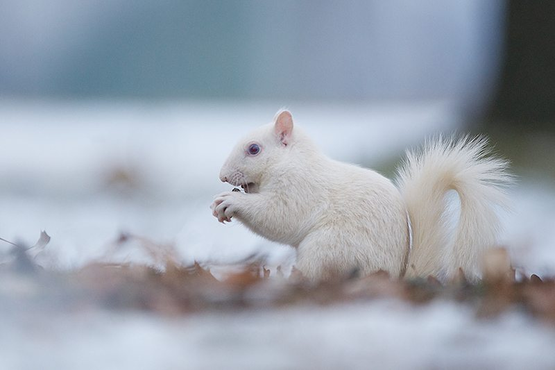 Image: Albino squirrel in the snow. One of the white squirrels of Olney Illinois