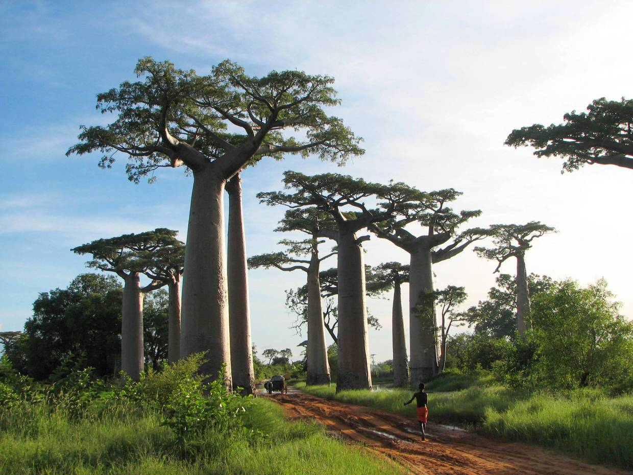Image: Other worldly looking boabab trees from Madagascar