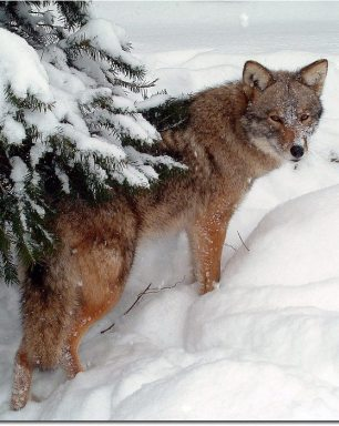 Image: Coyote going up a snowy slope