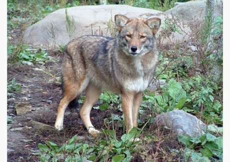 Image: Coyote on a rocky and grassy terrain
