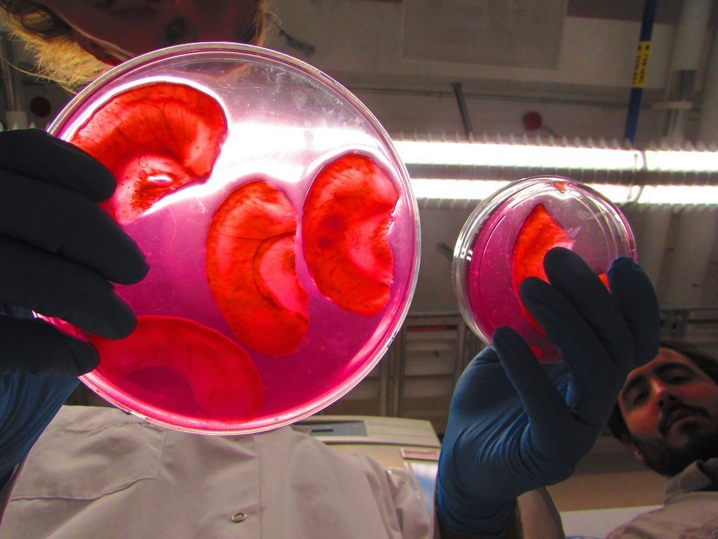 Image: Scientists turning apples into ears, apples slices shaped like ears on a petri dish