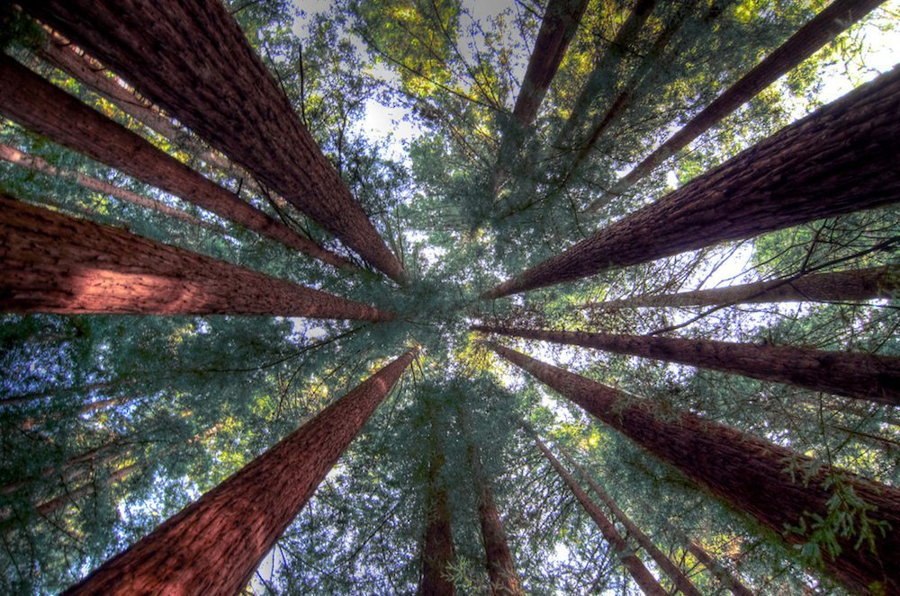 Image: Looking up at the Redwood forest, a conservation mission in the redwoods