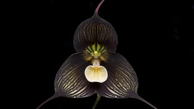 Image: Dragula orchid Black with teeth-like parts