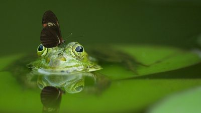 Image: A frog with a butterfly on its nose