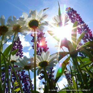 Image: Sparkling sunlight through wild flowers