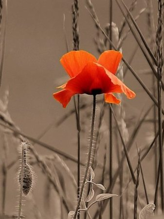 Image: Poppy in dry weeds