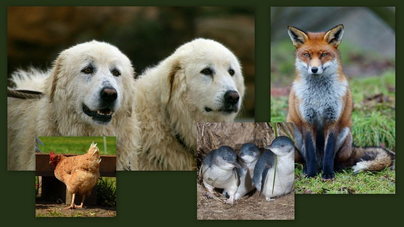 Image: Guard dogs, a chicken and a clutch of penguins being eyed by a fox
