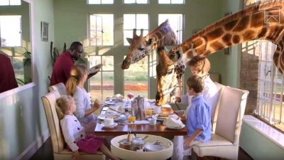 Image: Giraffe's poking their heads into the windows of Giraffe Manor during breakfast