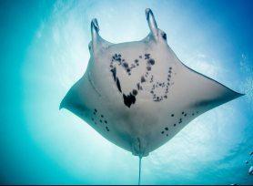Image: Manta Ray of Hope photo of the belly of a manta ray