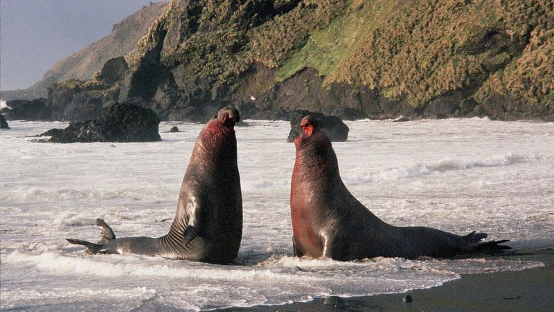 Image: Elephant Seals Fighting, proving they are Mother Nature's beachmaster
