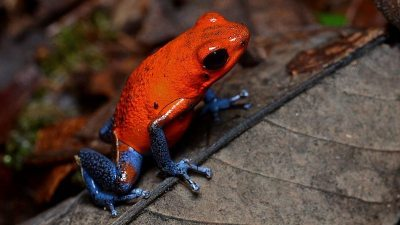 Image: Tiny red frog with bright blue legs