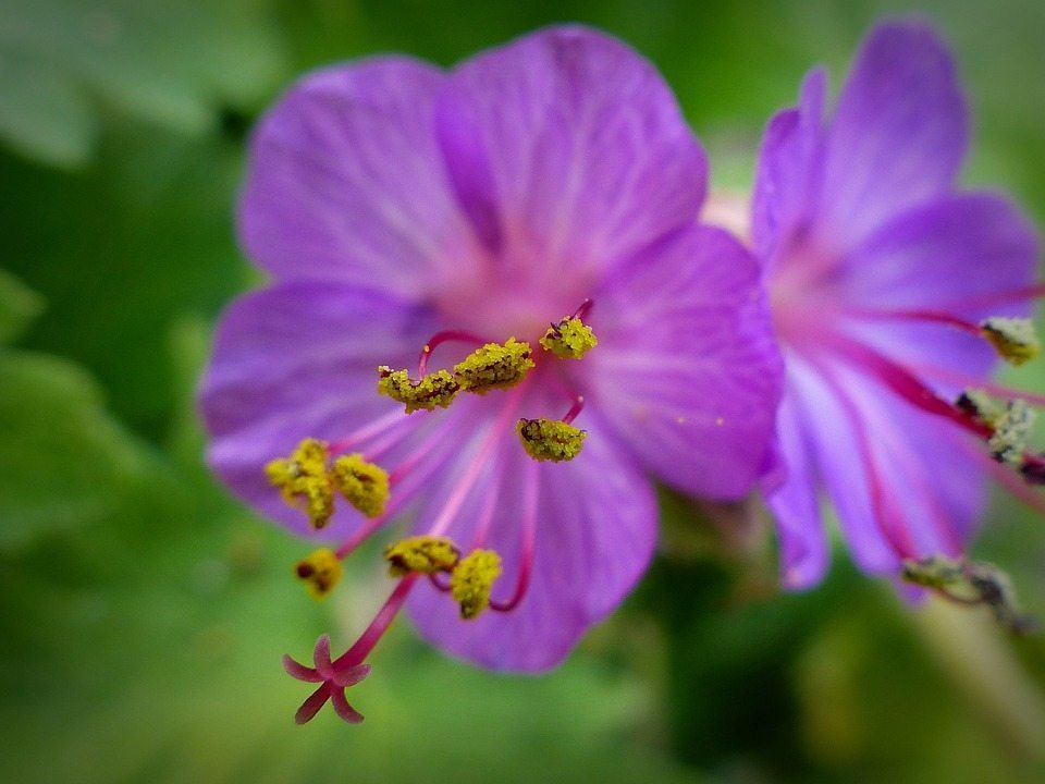 Image: Close-up of a geranium flower showing individual pollen grains