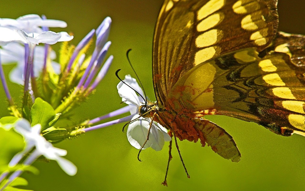 Image: Pollen covering a butterfly