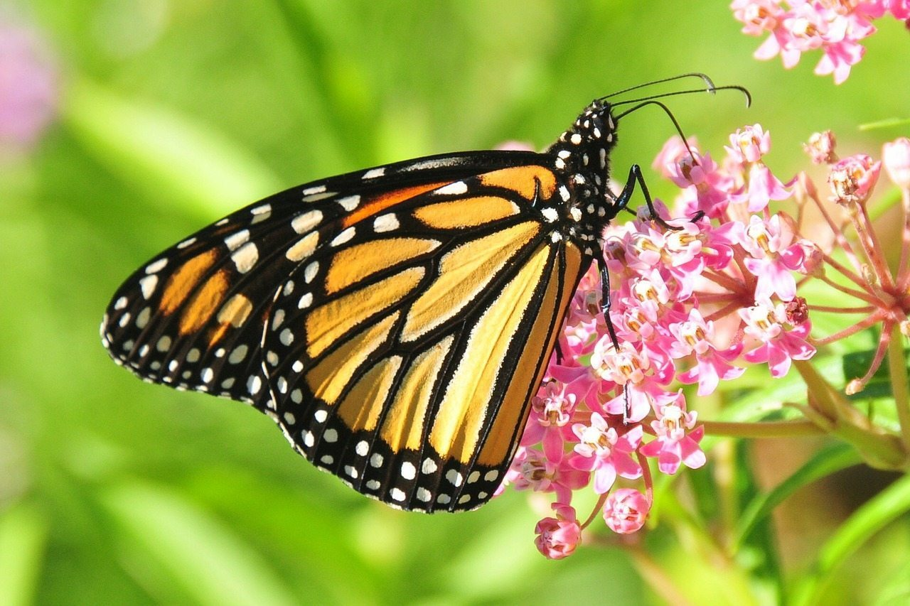 Image: Monarch butterfly pollinating