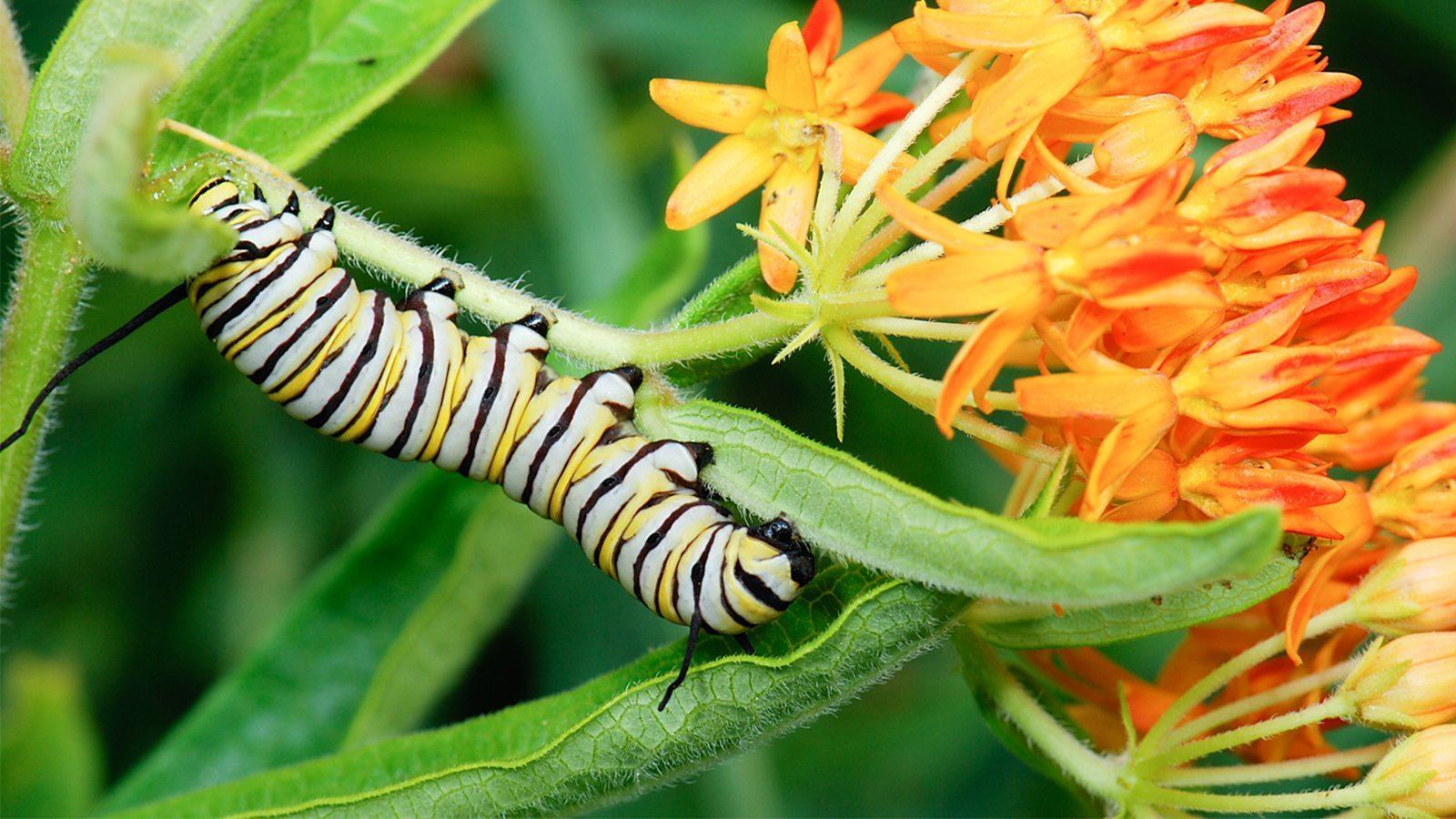 Image: Monarch Caterpillar on an orange flour
