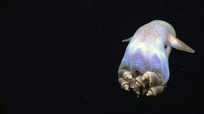 Image: Dumbo Octopus