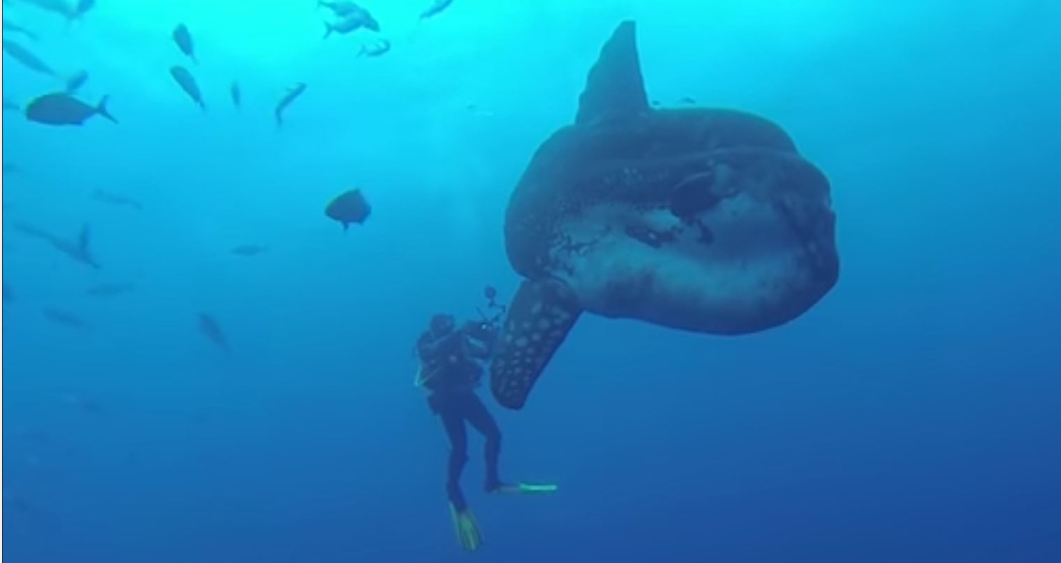 Image: Ocean Sunfish with diver