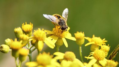 Image: Bee gathering pollen on yellow flower