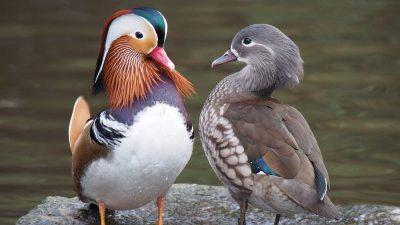 Image: Mandarin ducks reveal contrast in color blindness
