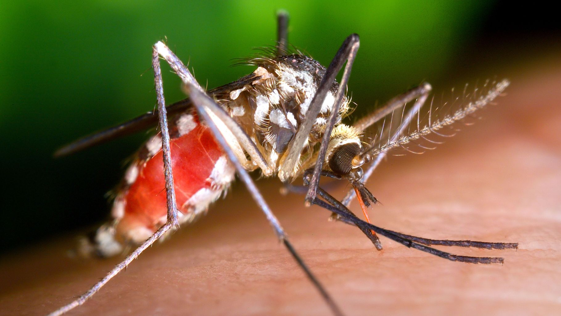 Image: Mosquito engorged with blood from feeding