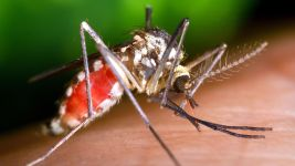 Ochlerotatus triseriatus mosquito obtaining a blood meal from a