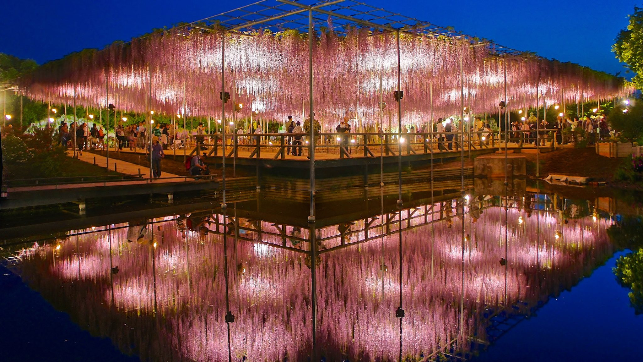 Image: Giant Flowering Wisteria tree reflected in water