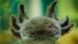Image: A very close shot of the Axolotl's face!