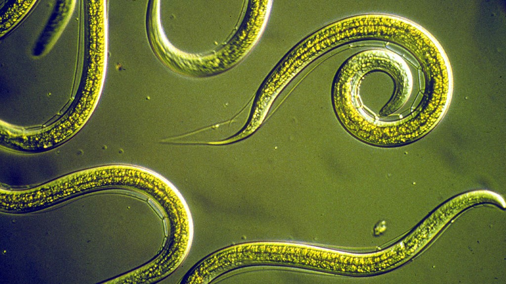 Image: Magnified C. elegans colored in green