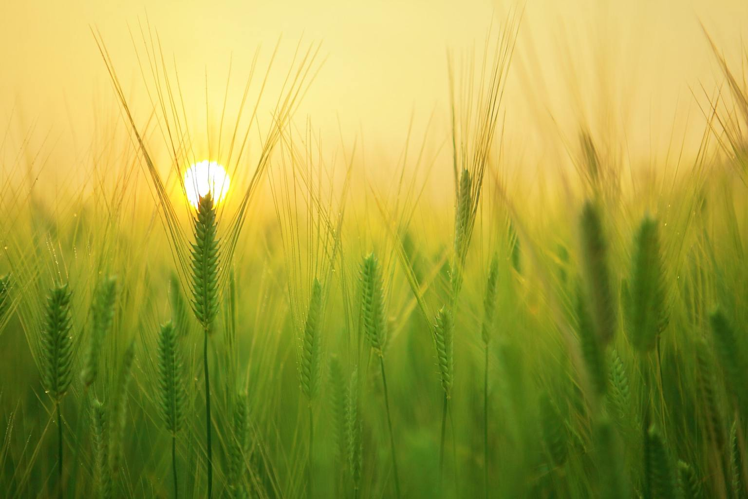 Image: Green wheat, with the sun rising behind it. But why are plants green?