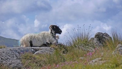 Image: a sheep sitting on a rock in the Burren