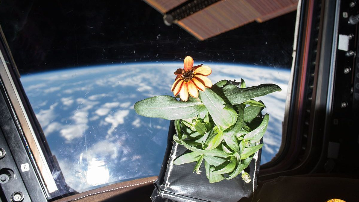 Image: An orange blooming zinnia plant that was grown in space floating inside of the ISS with the Earth behind it.
