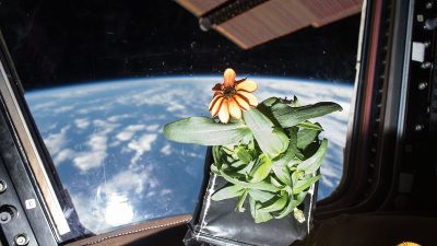 Image: A zinnia that was grown in space floating inside of the ISS with the Earth behind it.